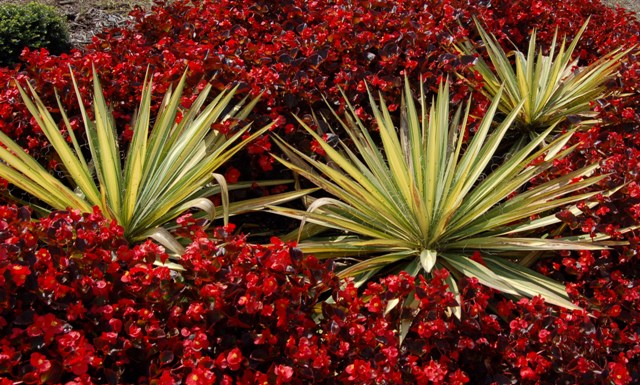 Yucca and Begonia